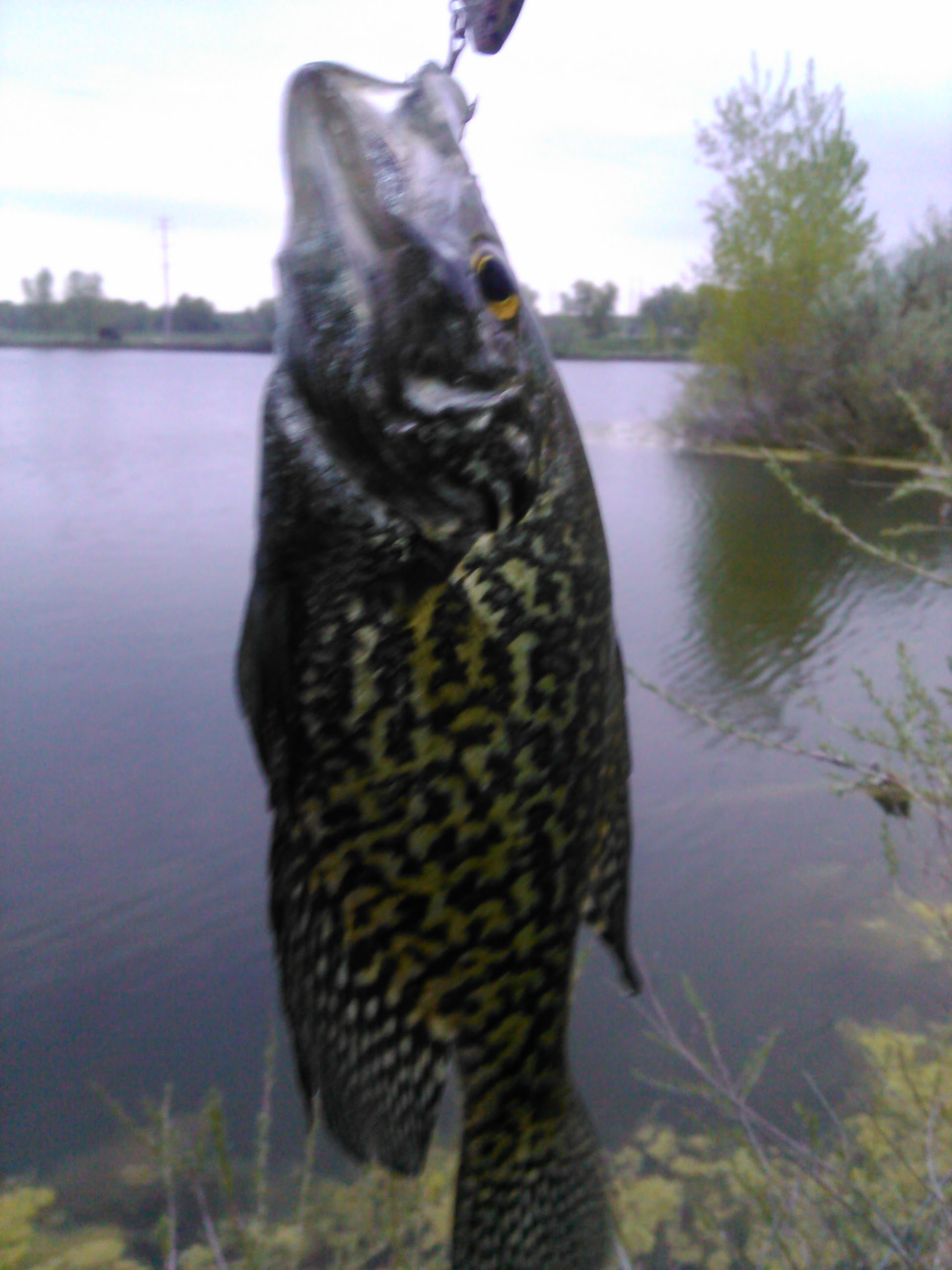 Black Crappie caught at Sawhill Ponds in Boulder